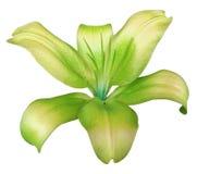 Цветок лилии желт-зеленый, изолированный с путем клиппирования, на белой предпосылке красивая лилия, прозрачный центр бирюзы Для  Стоковые Изображения