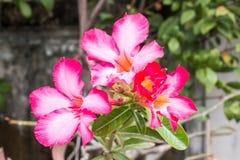 Цветок лилии импалы или розовая пустыня подняли Стоковое Изображение RF