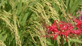 Цветок лилии красного паука видеоматериал