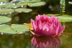 Цветок лилии красной воды Стоковые Изображения