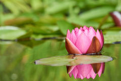 Цветок лилии красной воды Стоковое Фото