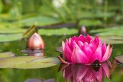 Цветок лилии красной воды Стоковые Фото