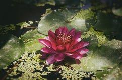 Цветок лилии красной воды Стоковые Изображения RF