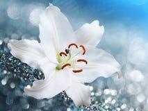 Цветок лилии на голубой предпосылке с влияниями bokeh Стоковые Фото