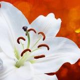 Цветок лилии на красной предпосылке с влияниями bokeh и вода брызгают Стоковое Фото