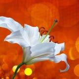 Цветок лилии на красной предпосылке с влияниями bokeh и вода брызгают Стоковое Изображение RF