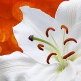 Цветок лилии на красной предпосылке с влияниями bokeh Стоковое Изображение