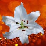 Цветок лилии на красной предпосылке Стоковое Фото