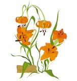 Цветок лилии тигра Стоковое Фото