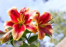 Цветок лилии Стоковое фото RF