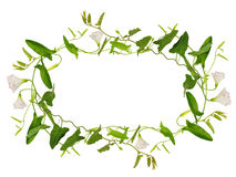 Цветок и листья вьюнка в рамке Стоковое Изображение