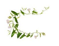 Цветок и листья вьюнка в рамке Стоковая Фотография RF