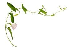 Цветок и листья вьюнка Стоковые Изображения