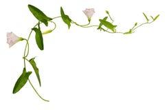 Цветок и листья вьюнка Стоковое фото RF
