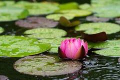 Цветок и листья лилии красной воды Стоковые Изображения RF