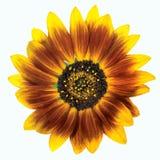 Цветок и листья солнцецвета изолированного на белой предпосылке Стоковое Изображение