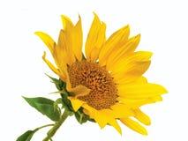 Цветок и листья солнцецвета изолированного на белой предпосылке Стоковое Фото