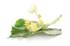 Цветок и лист дерева липы Стоковое Изображение