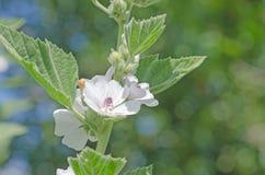 Цветок и лист зефира Стоковые Фото