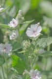 Цветок и лист зефира Стоковая Фотография RF