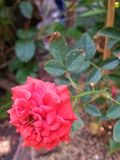Цветок и лист красной розы Стоковое Изображение RF