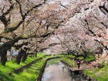 Цветок или вишневый цвет Сакуры Стоковое фото RF
