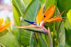 Цветок или райская птица крана Стоковые Фото