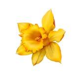 Цветок или narcissus Daffodil изолированные на белизне Стоковое Изображение