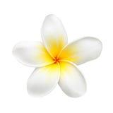 Цветок или Plumeria Frangipani изолированные на белизне Стоковые Фото