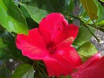 Цветок и листья гибискуса красные стоковые изображения