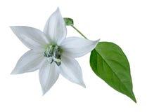 Цветок и листья горячего перца Стоковое Изображение RF