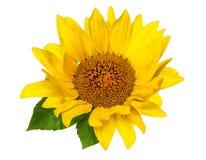 Цветок и листья солнцецвета изолированного на белой предпосылке Стоковая Фотография RF