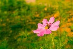 Цветок и пчела космоса с запачканной предпосылкой Стоковое Изображение RF