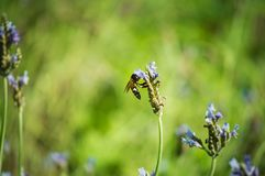 Цветок и пчела лаванды в саде Стоковая Фотография