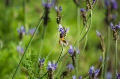 Цветок и пчела лаванды в саде Стоковое фото RF