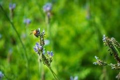 Цветок и пчела лаванды в саде Стоковые Изображения