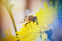 Цветок и пчела макроса Стоковые Изображения RF