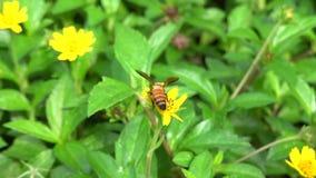 Цветок и пчела Sun сток-видео