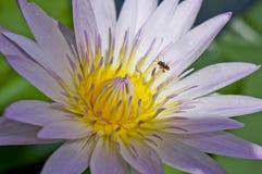 Цветок и пчела Стоковые Изображения RF