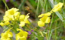 Цветок и пчела Sourgrass Стоковое Изображение
