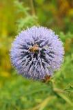 Цветок и пчелы Thistle Стоковые Изображения RF