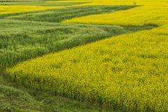 Цветок и пшеница рапса Стоковая Фотография RF