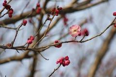 Цветок и шарик сливы приходя вне в предыдущую весну Стоковое Изображение RF