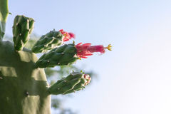 Цветок кактуса в дне солнечности Стоковое Изображение RF