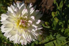 Цветок кактуса георгина в конце сада вверх Георгин с сметанообразными ыми-бел лепестками стоковое фото
