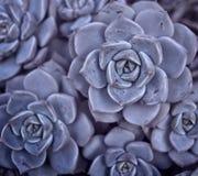 Цветок кактуса сирени Стоковые Фото