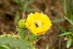 Цветок кактуса шиповатой груши Стоковое фото RF