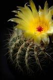 цветок кактуса Стоковые Фото
