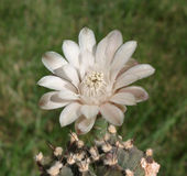 цветок кактуса Стоковые Изображения RF
