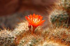 Цветок кактуса Стоковые Фотографии RF